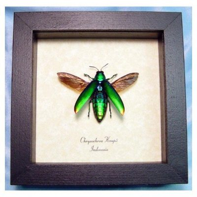 Chrysochroa kaupii Flying Real Framed Metallic Green Beetle