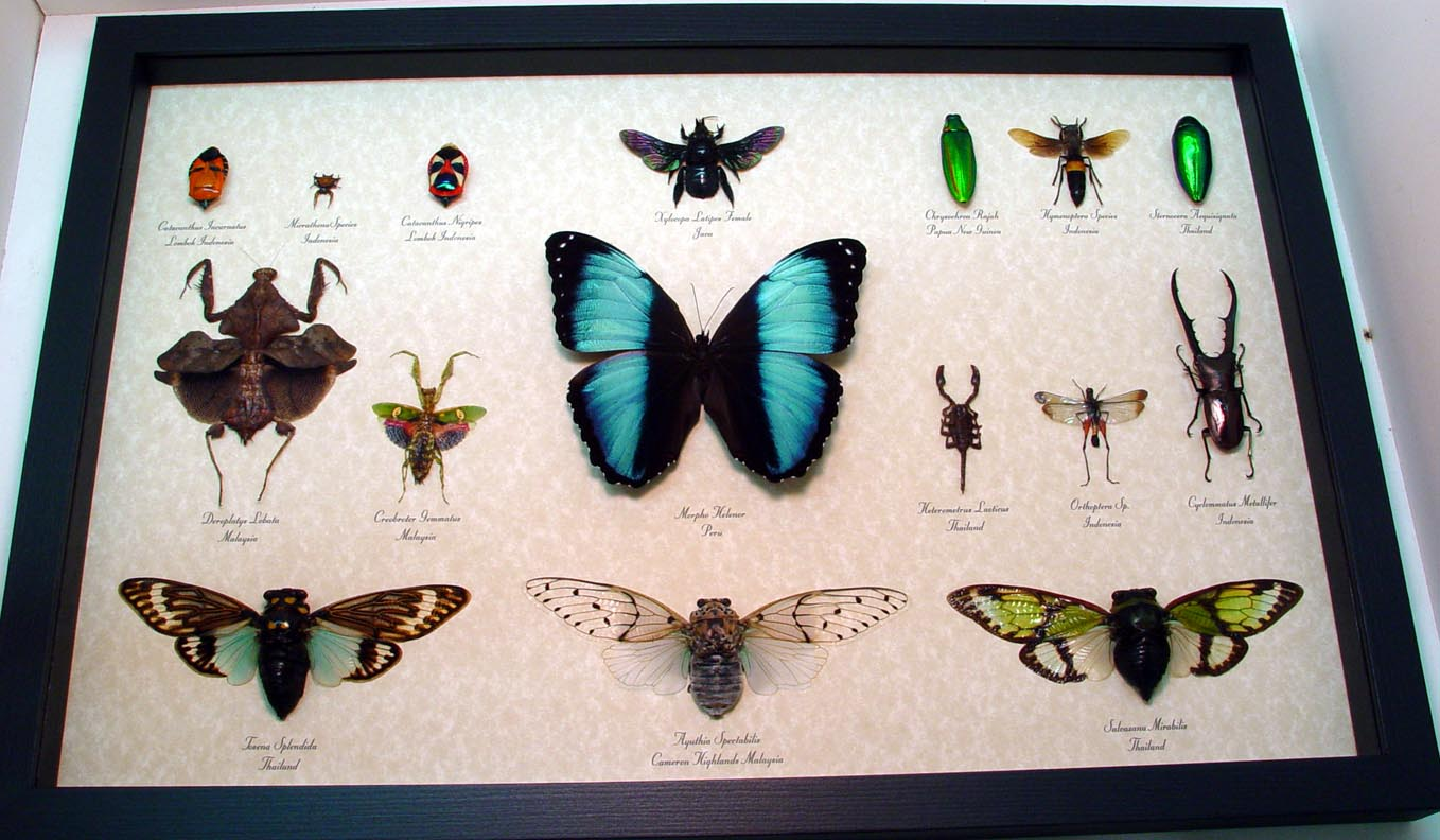 Real Framed Butterfly Art Archives - Real Framed Butterflies and ...