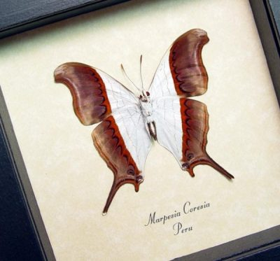 Marpesia coresia verso Waiter Daggerwing Real Framed Butterfly