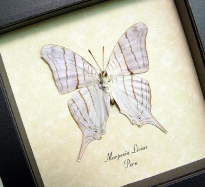 Marpesia livius Verso White Tiger Daggerwing Real Framed Butterfly