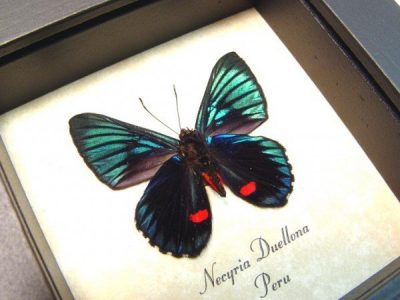 Necyria Duellona verso Metallic Green Blue Red Peruvian Real Framed Butterfly