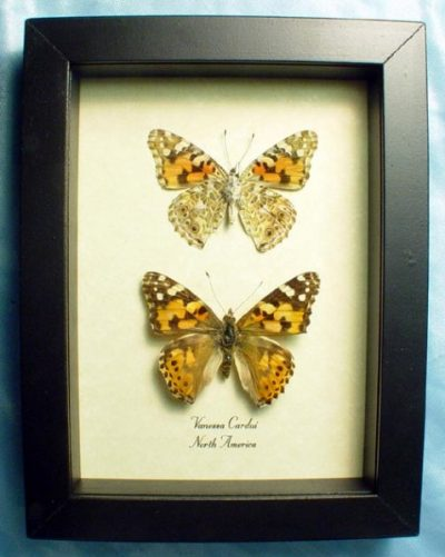 Vanessa cardui Pair Painted Lady or Cosmopolitan Real Framed Butterflies
