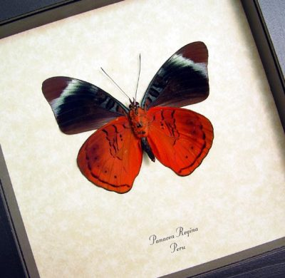 Panacea regina Verso Queen Flasher Red Blue Real Framed Butterfly
