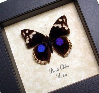 Precis clelia African Purple Spot African Butterfly