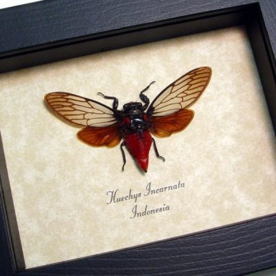 Huechys incarnata Red Devil Cicada Real Framed Insect