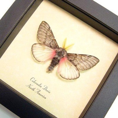 Coloradia-doris - Fuzzy furry pink teddy bear moth - Doris Pine Moth
