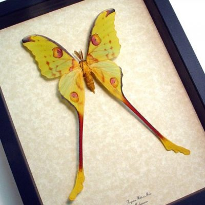 "Argema Mittrei Male 7"" long Real Framed Comet Moth"