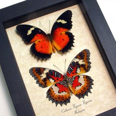 Cethosia h hypsina Pair Red Malay Lacewing Butterflies