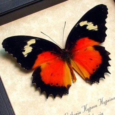 Cethosia hypsea hypsina Real Framed Red Malay Lacewing Butterfly