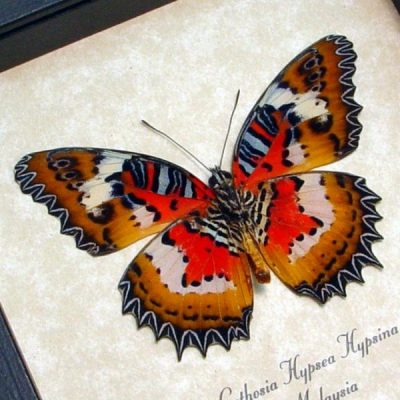 cethosia hypsea hypsina V Real Framed Red Lacewing Butterfly