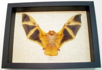 Flying Bat - Med Kerivoula picta Painted Bat Woolly Bat