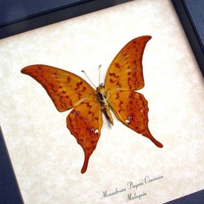 Meandrusa p. ciminius Verso Real Framed Leaf Mimic Yellow Gorgon Sickle Butterfly