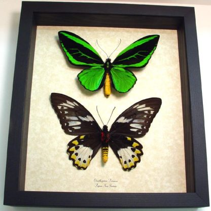 """9.5""""x 11"""" Insect Frames"""