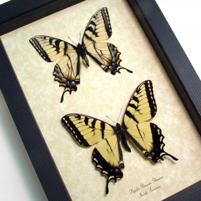 Papilio glaucus pair - Yellow Tiger Swallowtail North American Butterfly