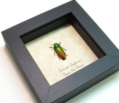 Belionota sumptuosa Real Framed Tricolor Metallic Wood Boring Beetle