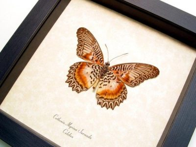 Cethosia m. sarnada verso Real Framed Cat Face Butterfly
