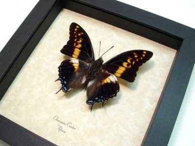 Charaxes castor Male Giant Emperor Real Framed Butterfly