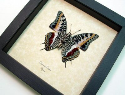 Charaxes castor Verso Giant Emperor Real Framed Butterfly