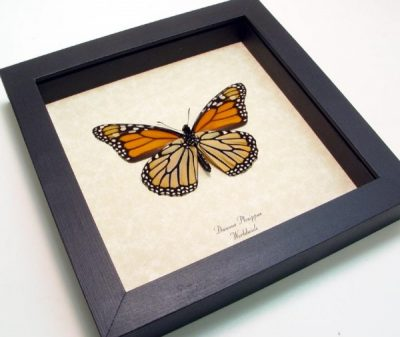 Danaus plexippus Verso  Real Framed Monarch Butterfly