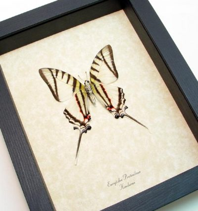 Eurytides protesilaus Verso Zebra Swallowtail Real Framed Butterfly