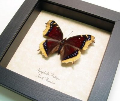 Nymphalis Antiopa Mourning Cloak Purple Real Framed Butterfly