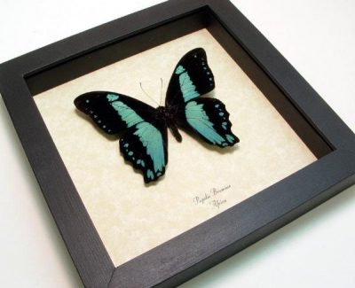 Papilio bromius Male Broad Banded Swallowtail Real Framed Blue African Butterfly