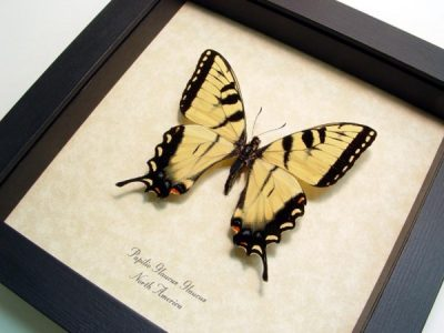 Papilio Glaucus Male Tiger Swallowtail Yellow North American Real Framed Butterfly