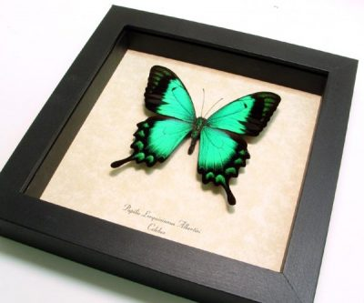 Papilio lorquinianus albertisi Rare Real Framed Metallic Green Swallowtail Butterfly