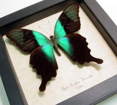 Papilio p. adamantius Green Swallowtail Real Framed Butterfly