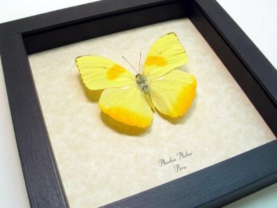 Phoebis philea The Orange Barred Sulpher Real Framed Butterfly