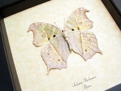 Salamis parhassus Verso Mother Of Pearl Shimmery Real Framed Butterfly