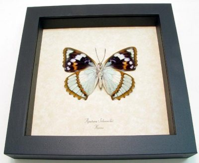 Apatura (Mimathyma) schrenckii Verso Seafoam Blue Orange Real Framed Butterfly