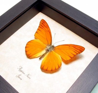 Appias nero Orange Albatross Real Framed Butterfly