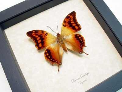 Charaxes candiope The Dagger Tail Butterfly Real Framed Golden Swallowtail