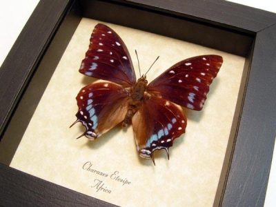 Charaxes etesipe Male The Scarce Forest Emperor Blue African Real Framed Butterfly