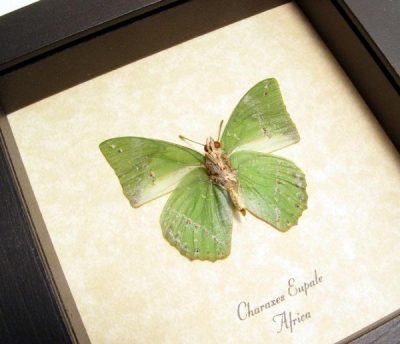 Charaxes eupale Verso The Common Green Leaf Charaxes Real Framed Butterfly