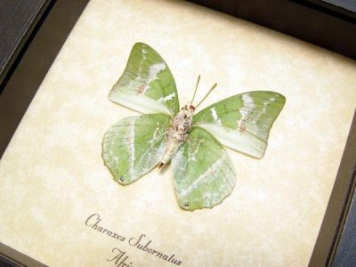 Charaxes subornatus Ornate Green Charaxes Real Framed Butterfly