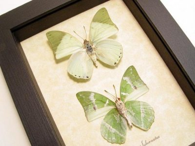 Charaxes subornatus Pair Ornate Green Charaxes Real Framed Butterflies