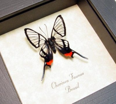 Chorinea faunus Red Glasswing Swallowtail Real Framed Swallowtail Butterfly