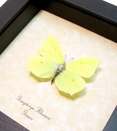 Gonepteryx rhamni Real Framed Brimstone Butterfly Ancient Greece