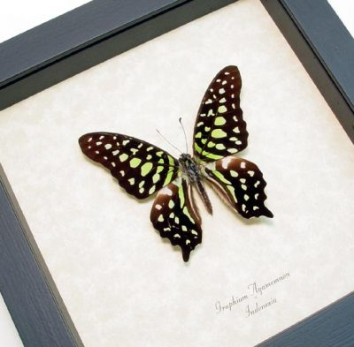 Graphium agamemnon Green Spotted Triangle Real Framed Butterfly