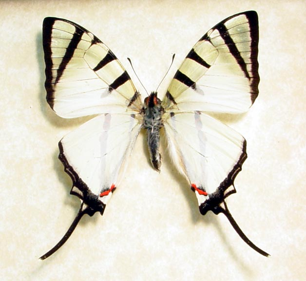 Graphium agetes The Four-Bar Swallowtail Real Framed White Butterfly ...