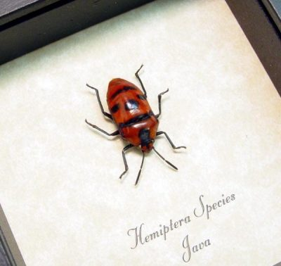 Hemiptera Sp Real Framed Red Man Face Beetle