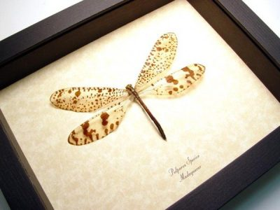 Palpares species Antlion Real Framed Giant Madagascar Antlion Insect