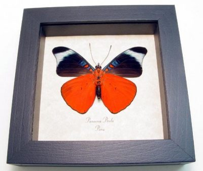 Panacea prola Verso Panacea prola The Prola Beauty Red Flasher Real Framed Red Butterfly