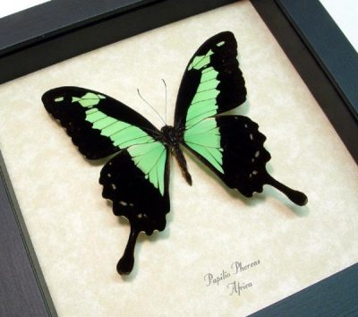 Papilio phorcas Male Apple Green Swallowtail Real Framed Butterfly
