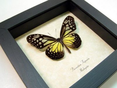 Parantica aspasia The Yellow Glassy Tiger Real Framed Butterfly