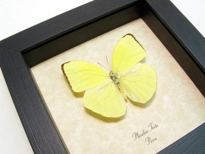 Phoebis trite The Neon Sulpher Real Framed Yellow Butterfly