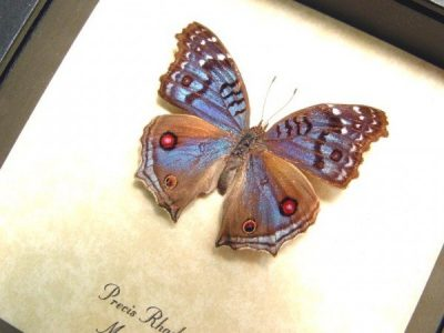 Precis rhadama female Royal Blue Pansy The Royal Blue Pansy Madagascar Real Framed Butterfly