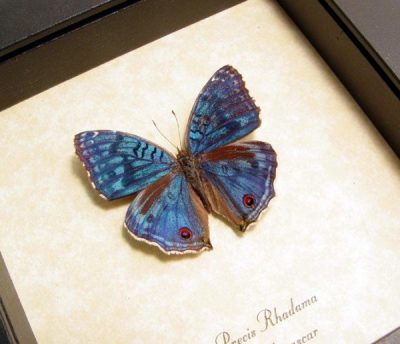 Precis rhadama Male Royal Blue Pansy The Royal Blue Pansy Madagascar Real Framed Butterfly